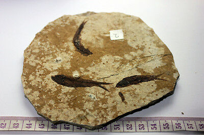 "B.J.F.  Super Med  Fossil  Fish  ""Knightia:  From  Wyoming  USA .14"