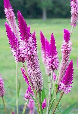 "Celosia spicata""Flamingo Feather"" x 100 seeds Pretty in pink"