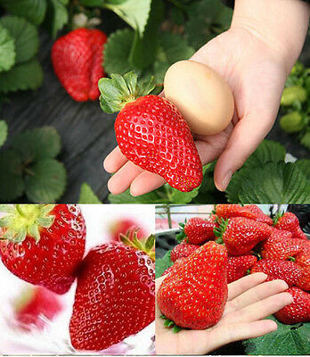 GIANT Strawberry Seeds ca.50 pcs/bag - The largest Strawberry  of the world