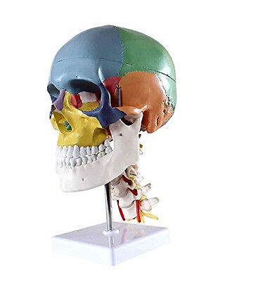 Human Skull Model with 7 Cervical Vertebrae Nerve and Artery on Stand US Stock