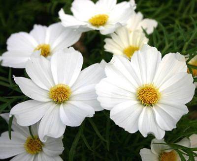 New Pack Flower Seeds Cosmos 'White Purity' King's Quality Garden Seed