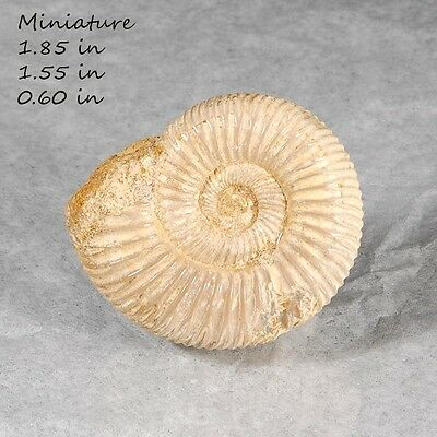 Fossil Ammonite Natural Madagscar Fossil Mineral Rock Fossilized