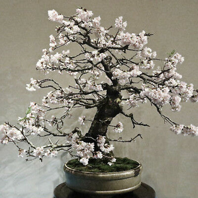 New  10pcs seeds WHITE PRUNUS ( PRUNUS MUME ) bonsai seeds Brand
