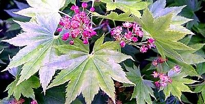 Acer shirasawanum x 5 seeds. Broad leaves, red flowers. Showy variety, bonsai.