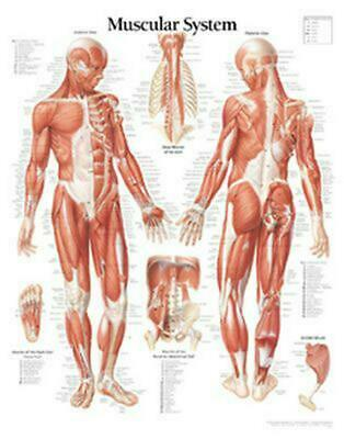 Muscular System With Male Figure Laminated Poster by Scientific Publishing (Engl