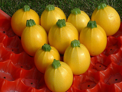 Pack Vegetable Seed Courgette 'Floridor F1' Kings Quality Seeds