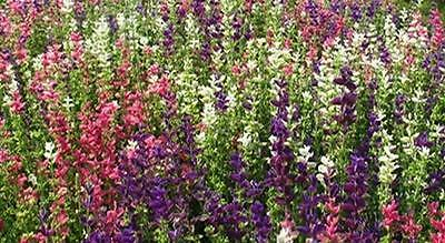 New Pack Herb 'Sage' Painted (Salvia Horminum) Garden Herb Seeds Suffolk Herbs