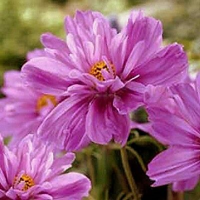 Cosmos bipinnatus Fizzy Pink x 50 seeds  Very easy to grow.