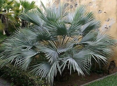 50 Seeds - Brahea armata - Blue Hesper Palm / Mexican Blue Palm