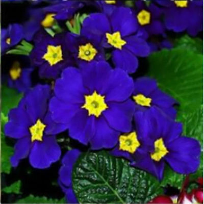 100pcs Flower Rare Easy to Garden Decor Evening Primrose Blue New Plant Seeds