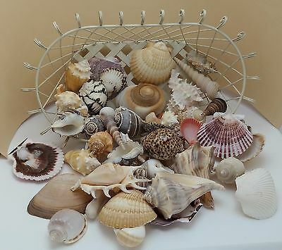 Large SEASHELL COLLECTION 4 Lbs. Many Unusual Beautiful w Wire Display Basket