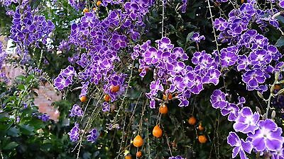 Duranta repens 'Geisha Girl' x 1 plant. Perennial. Can be trained as standardt