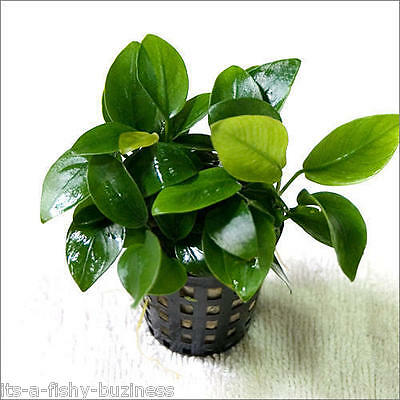 Anubias Nana Barteri Pot Tropical Live Aquarium Nano shrimp moss jave co2 • EUR 10,96