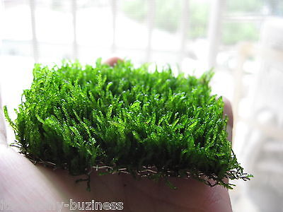 Flame Moss 3x5cm pad Taxiphyllum Tropical Aquarium Plant live Shrimp Java Moss