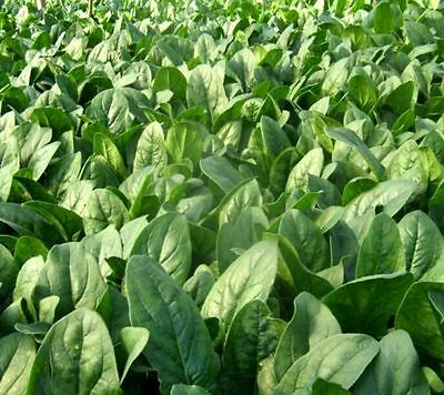 FD4607 Big Circle Leaf Disease Resistance Cold Heat Fast Growth Spinach Seeds