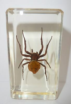 Ghost Spider (Araneus ventricosus) - Insect Specimen in 73x40x21 mm Paperweight