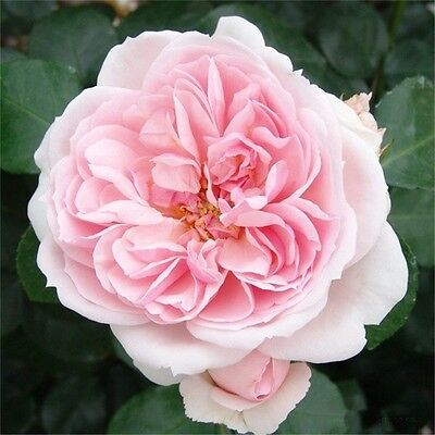 Fairy Tale Rose Climbing Rose Cinderella Fragrant Flowers Heritage Rose