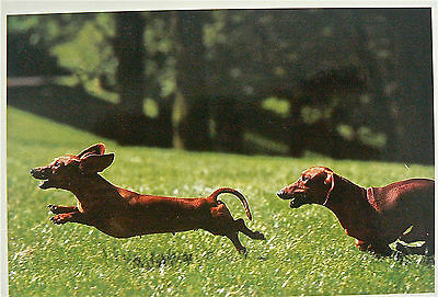 Postcard:dogs:'i'm Going To Catch You'larger Format Card.shorthair Dachshunds