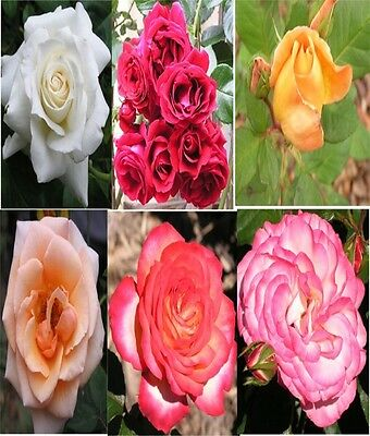 Rose Cuttings Bush Rose Cuttings Mixed Rose Cuttings Cottage Garden Floral