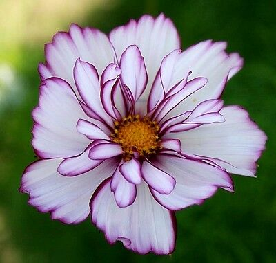 "Cosmos bipinnatus ""Fizzy Rose Picotee"" x 20 seeds  Very easy to grow. l"