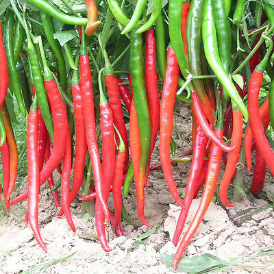 100pcs Chile Pimienta Picante Cayena Jalapeño Semillas Seeds Spicy Pepper Chilli