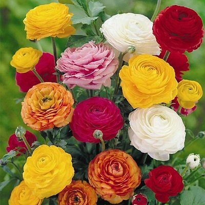 20 Ranunculus Persian Buttercup Perennial Mix Spring Fragrant Plant Flower Bulbs