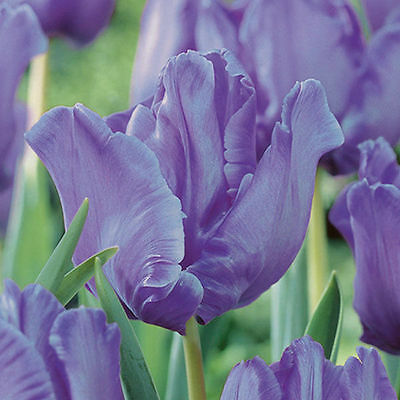 Pack 10 Parrot Tulip Bulbs 'Blue Parrot' WPC Prins Quality Spring Bulbs