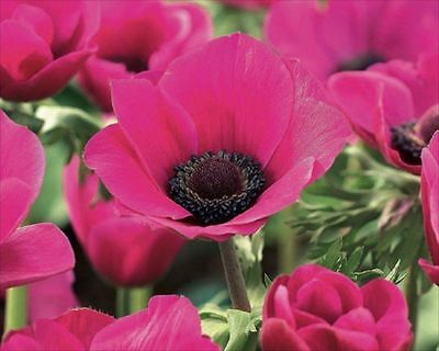 Pack 20 Bulbs/Tubers Anemone Coronaria 'Sylphide' Top Quality WPC.Prins Bulbs