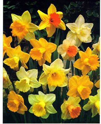 Value Pack 20 Daffodil Bulbs 'Singles Mixed' WPC Prins Quality Spring Bulbs