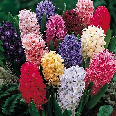 Value Pack 10 Bedding Hyacinth Bulb Mixed Colours WPC Prins Quality Spring Bulbs