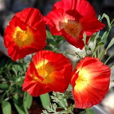 """California Poppy """"Red Chief"""" x""""100 seeds. Coastal and drought tolerant flower"""