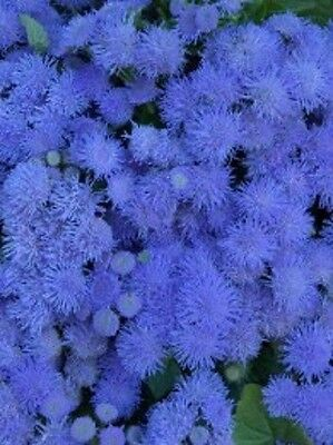 "Ageratum houstonianum ""Blue Mink"" x 100 seeds. Flower. Gift in store"