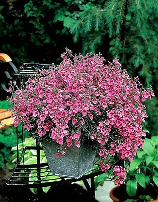 Diascia Barberae Pink Queen x 50 seeds. Groundcover Perennial Gift in store