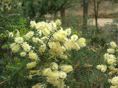 Acacia verticillata (Prickly Moses) x 30 seeds. Spreading shrub. Combined post