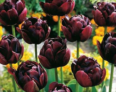 Pack 10 Double Tulip Bulbs 'Uncle Tom' Late Flowering Bulbs