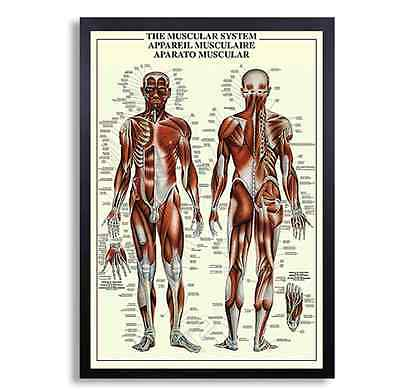 """Framed Biology Posters 26""""x38"""" (Muscular System 1)"""