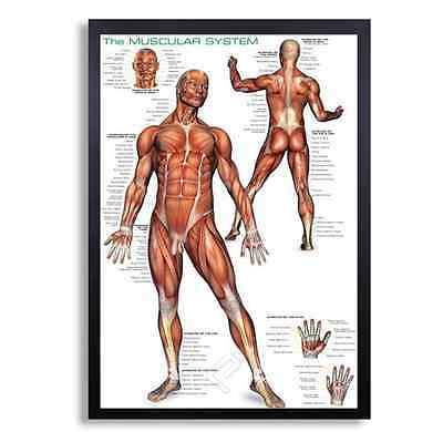 """Framed Biology Posters 26""""x38"""" (Muscular System 2)"""