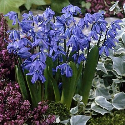 Pack 20 Bulbs Scilla Siberica (Siberian Squill) Top Quality WPC.Prins Bulbs