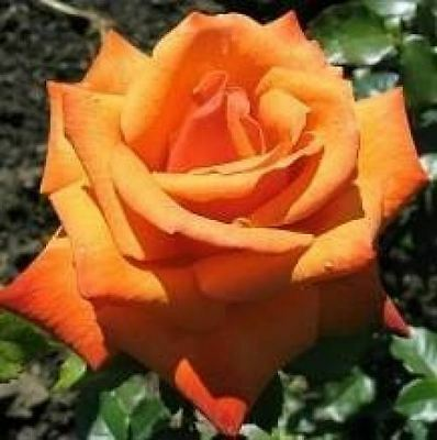 BARE ROOT Remember Me Hybrid Tea Rose - Remembrance HT Rose Rosa Bush