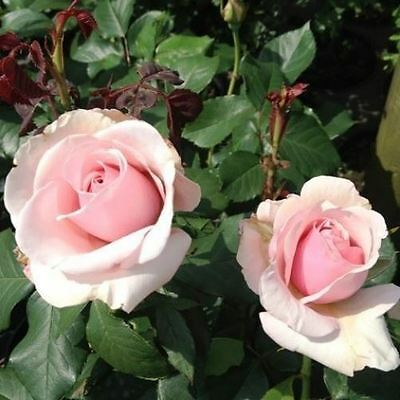 BARE ROOT Savoy Hotel Hybrid Tea Rose - Free Flowering HT Rose Rosa Bush