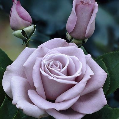 BARE ROOT Waltz Time Hybrid Tea Rose - Blue Mauve HT Rose Rosa