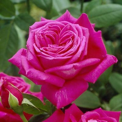 BARE ROOT Wendy Cussons Hybrid Tea Rose - Scented Pink HT Rose Rosa