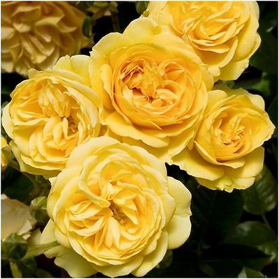 BARE ROOT Absolutely Fabulous Floribunda Rose - Fragrant Rose Rosa