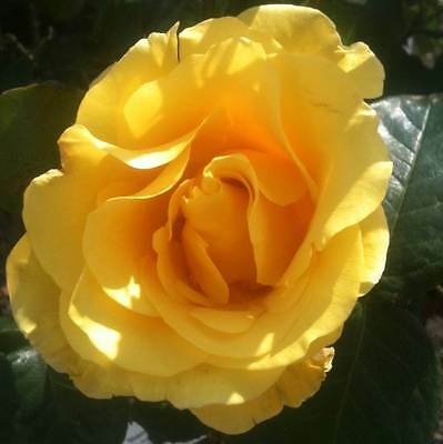 BARE ROOT Golden Wedding Floribunda Rose - 50th Wedding Anniversary Gift Idea