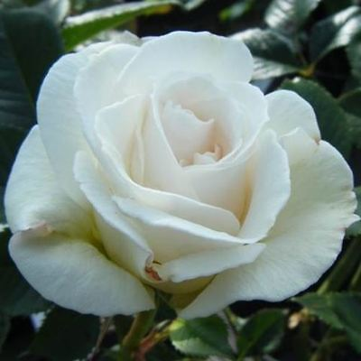 BARE ROOT Margaret Merril Floribunda Rose - Fragrant White Flowering Rose Rosa