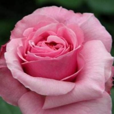 BARE ROOT Aloha Climbing Rose - Vigorous Climbing Climber Rose - Fragrant Rosa