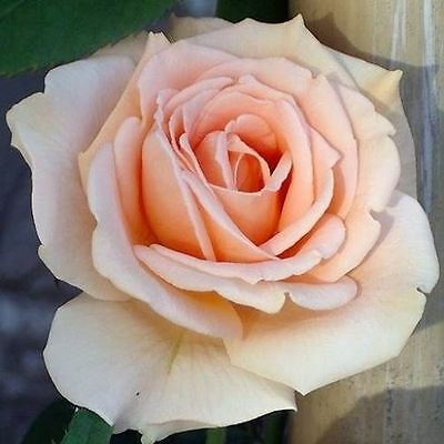 BARE ROOT Breath Of Life Climbing Rose - Fast Growing Climber Rose Rosa