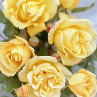 BARE ROOT Dreaming Spires Climbing Climber Rose - Yellow Strong Scented Rose