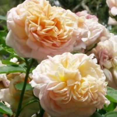 BARE ROOT Gloire de Dijon Climbing Climber Rose - Fully Double Fragrant Rosa
