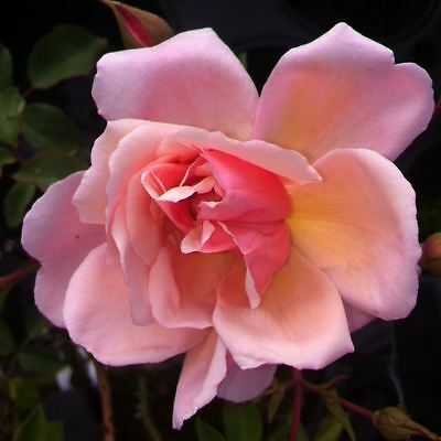 BARE ROOT Albertine Rambling Rose - Fragrant Pink Rambler Rambling Rose Rosa